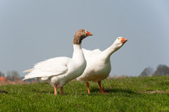 Gooses in landscape Royalty Free Stock Photography