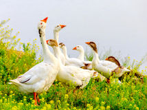 Gooses on meadow Stock Photography