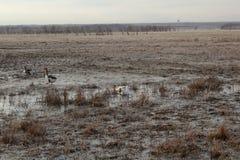 Gooses na bagnie próbuje komarnicy Zdjęcia Royalty Free