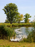 Gooses near lake Stock Photography