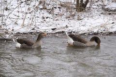 Gooses nell'ambiente di inverno Fotografie Stock