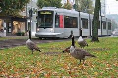 Gooses nella città Fotografia Stock