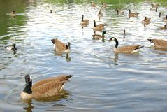 Gooses no parque Foto de Stock Royalty Free