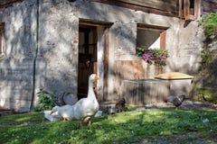 Gooses och höna Arkivbild