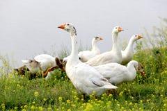 Gooses på äng Royaltyfria Foton