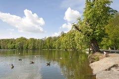Gooses på en sjö Arkivbilder