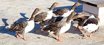 Gooses på vägen Fotografering för Bildbyråer