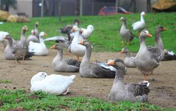 Gooses in park of Curitiba Royalty Free Stock Images