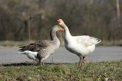 Gooses on pasture Stock Photo