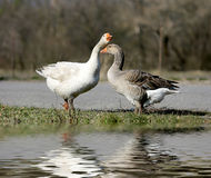 Gooses on pasture Royalty Free Stock Photos
