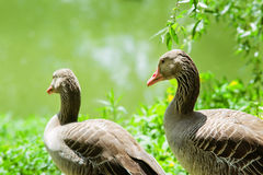 Gooses on the pond background Stock Image