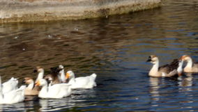 Gooses at pond stock footage