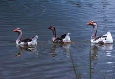 Gooses que nada pacificamente fotos de stock royalty free