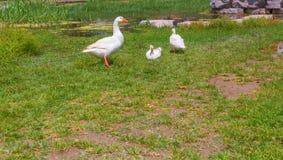 Gooses que se coloca en césped del pájaro de la granja de la hierba verde Imagenes de archivo