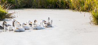 Gooses on the river Stock Images