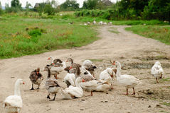 Gooses on rural path Stock Photos