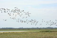 Gooses salvajes Foto de archivo libre de regalías