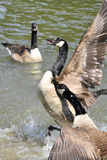 Gooses sauvages Photo libre de droits