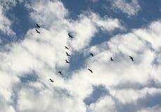 Gooses selvagens Imagens de Stock