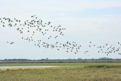 Gooses selvagens Foto de Stock Royalty Free