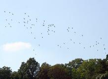 Gooses selvaggi Fotografia Stock