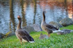 Gooses at the shore. Two gooses on the grass near the lake in the park in Sweden Royalty Free Stock Image