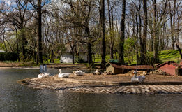 Gooses sitting on a small island in a park Royalty Free Stock Photography