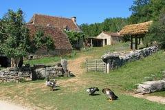 Gooses står framme av ingången av en lantgård i Frankrike Arkivfoton