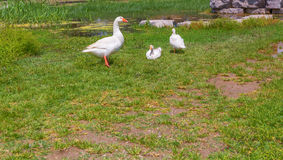 Gooses standing on green grass farm bird lawn Stock Images