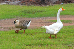 Gooses strolling Royalty Free Stock Photos