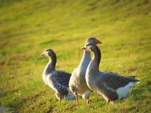 Gooses sull'azienda agricola Fotografia Stock