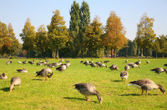 Gooses on to the meadow Royalty Free Stock Photos