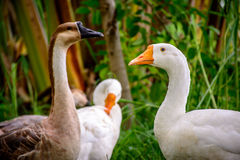 photo of gooses, under the tree, in the garden stock images
