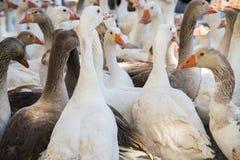 Gooses väntande på mål Royaltyfria Foton