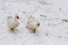 Gooses in the winer time. Gooses walking on the snow in the winter time while male is protecting female Royalty Free Stock Photography