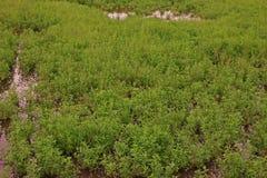 Gooseweed, broadleaves在米和强湿地除草 免版税库存照片