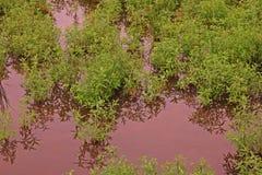 Gooseweed, broadleaves在米和强湿地除草 图库摄影