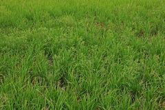 Gooseweed, broadleaves在米和强湿地除草 免版税图库摄影