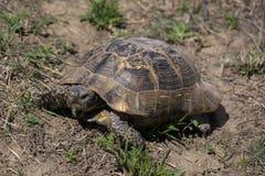 Gopher żółw w Caucasus obrazy stock