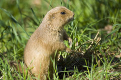 Gopher Imagem de Stock Royalty Free