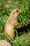 Gopher Lizenzfreie Stockfotos