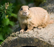 Gopher 2 Stock Images