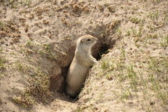 Gopher. (Spermophilus dauricus) in the wild nature near the mink stock photos