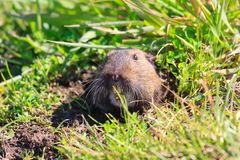 Gopher. Sticking out of a ground hole royalty free stock images