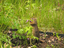 Gopher Royalty Free Stock Photography