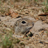 Gopher. Pocking head out of burrow Royalty Free Stock Photography