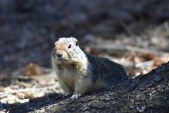 Gopher. Also known as ground squirrel, looking for food standing on bottom of tree stock photo