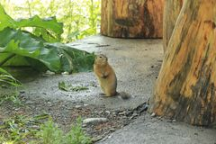 Gopher. Altai gopher between old trees royalty free stock photography