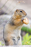 Gopher with bagel Stock Photography