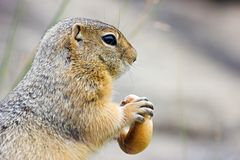 Gopher with bagel Stock Photo